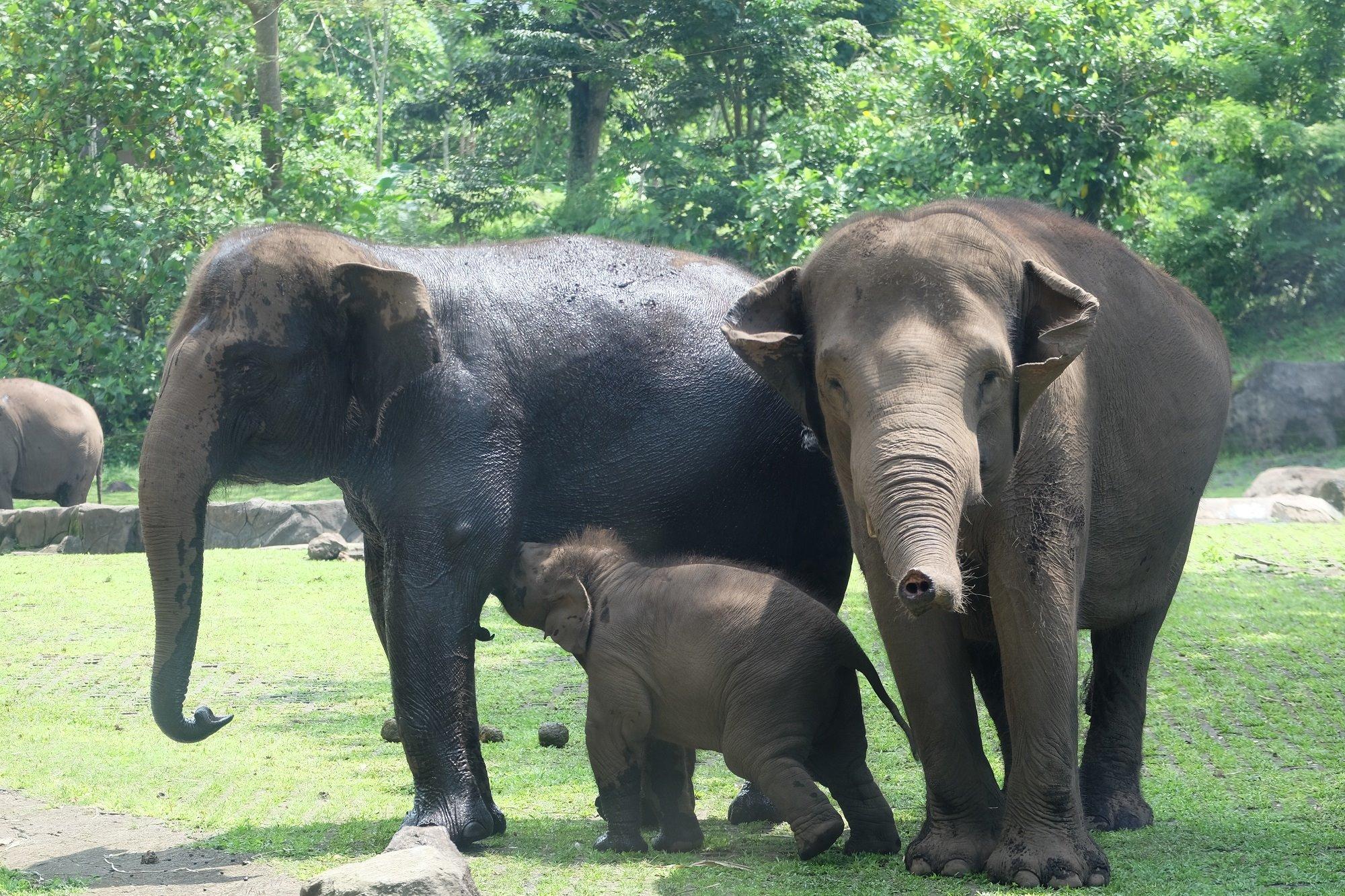 Elephants Animals Bali Safari Park