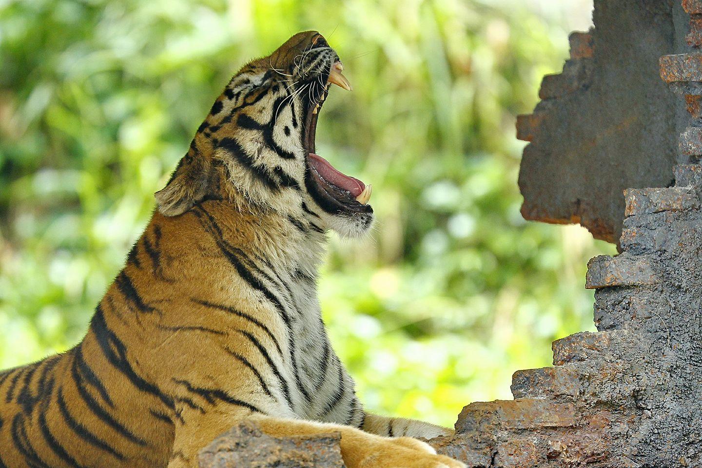 tigers animals bali safari park