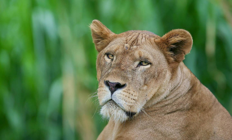 lions - photo #32