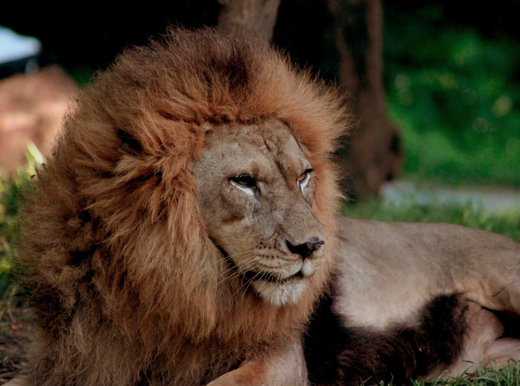 lions - photo #26