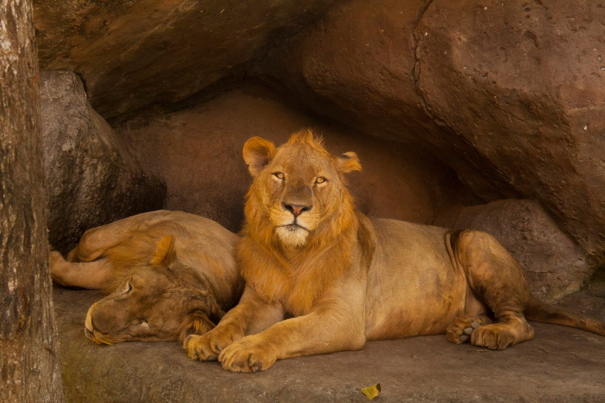 lions - photo #27