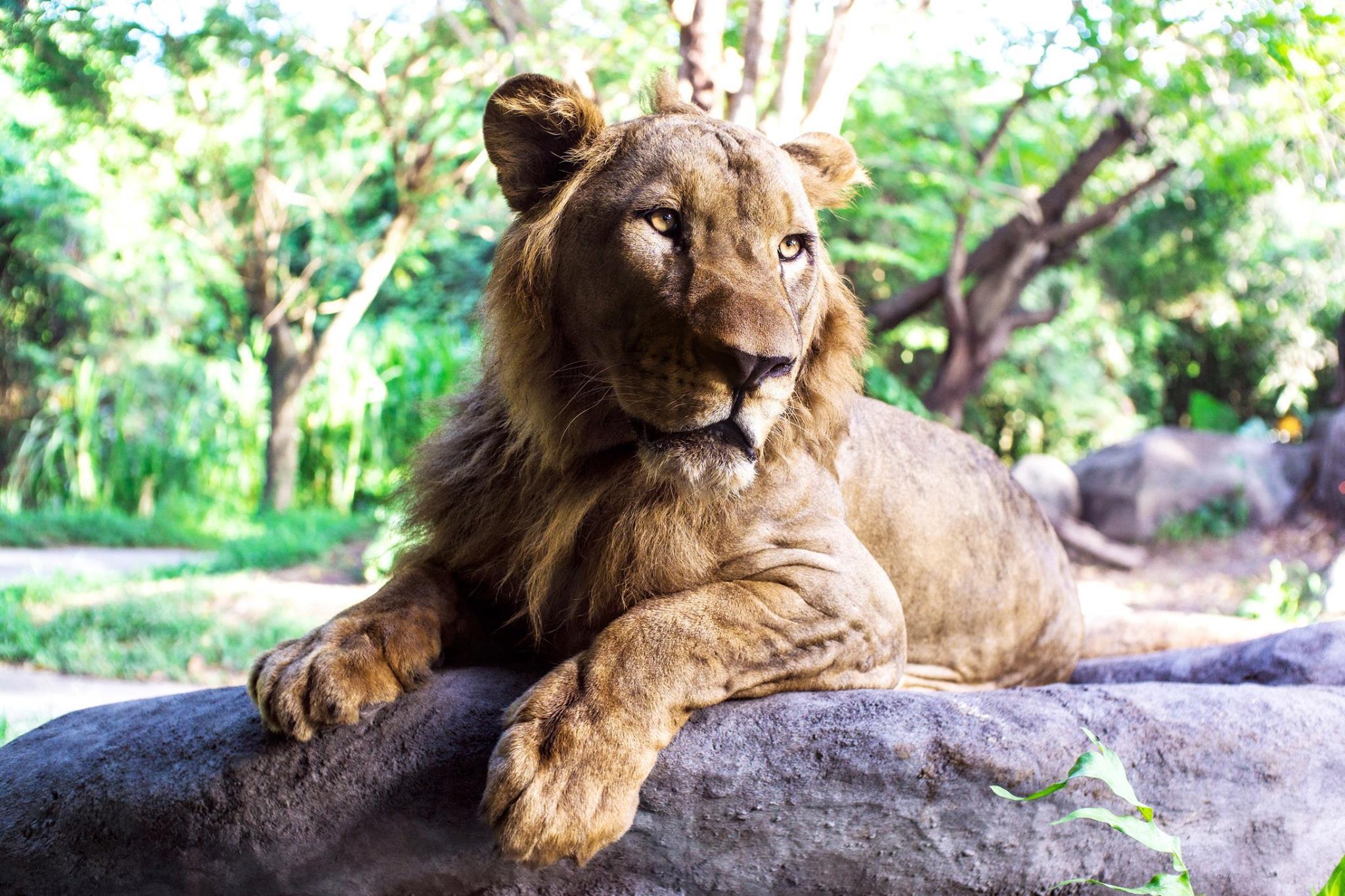 Lions | Animals | Bali Safari Park