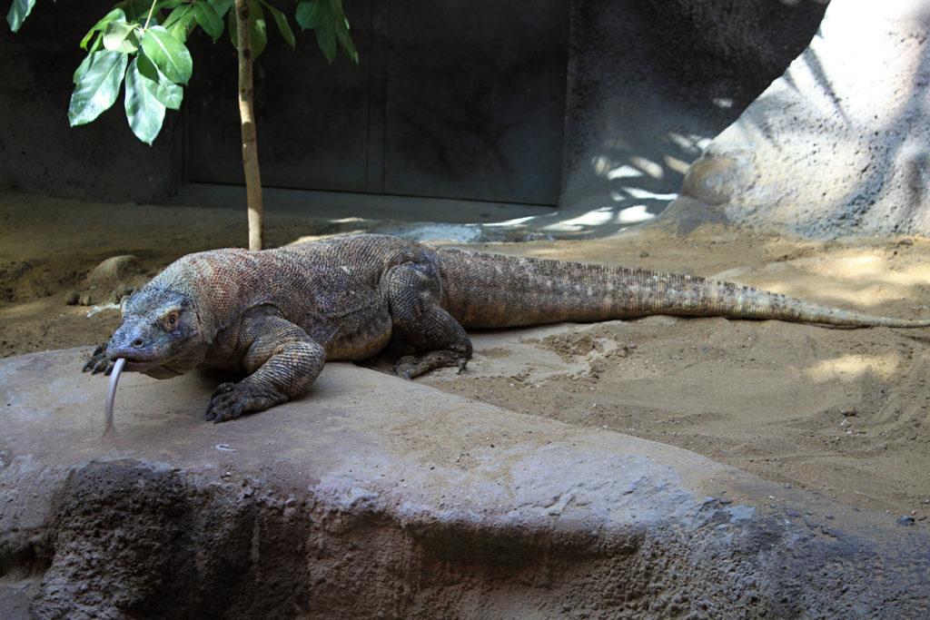 Animals of Indonesia - Komodo Dragon