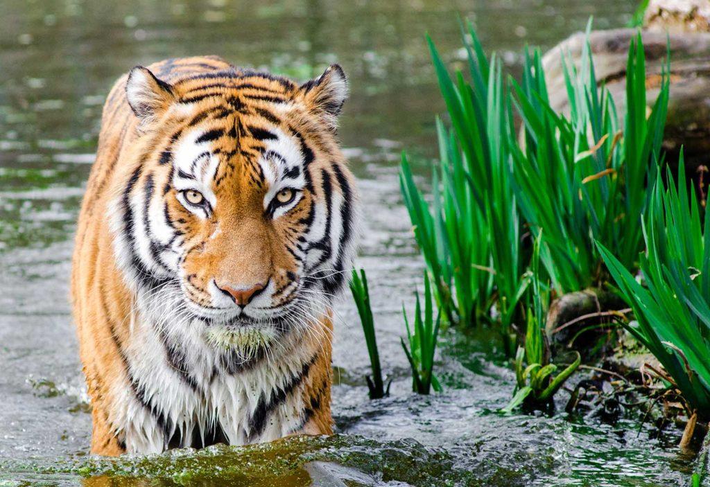 bali safari park - tiger