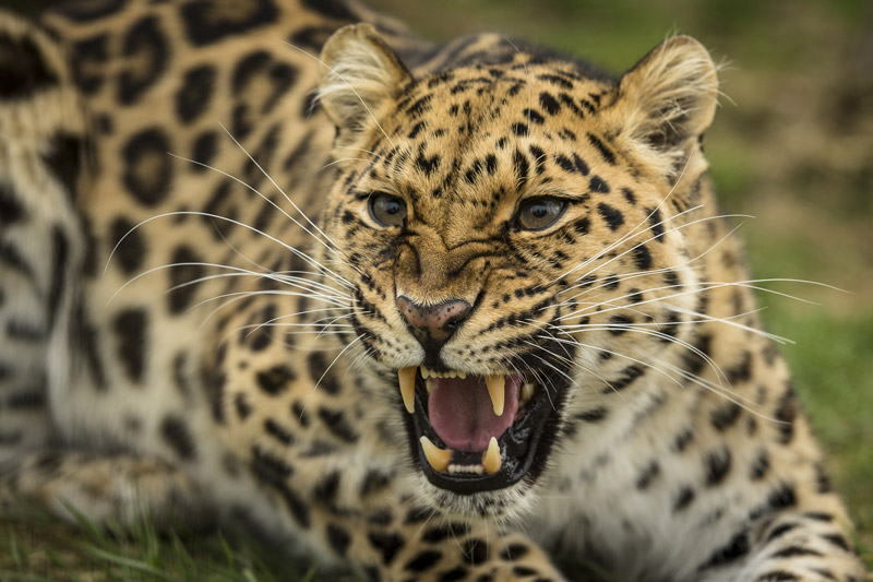 amur leopard - endangered animals