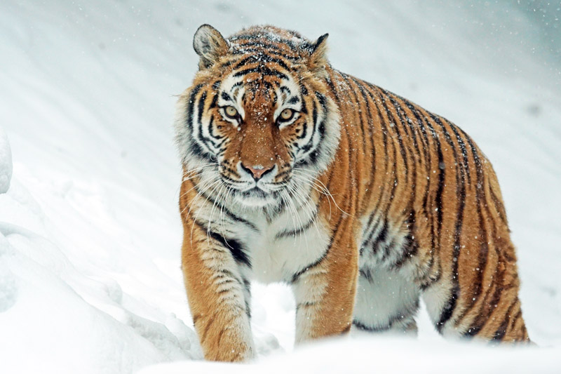 siberian tiger - endangered animals