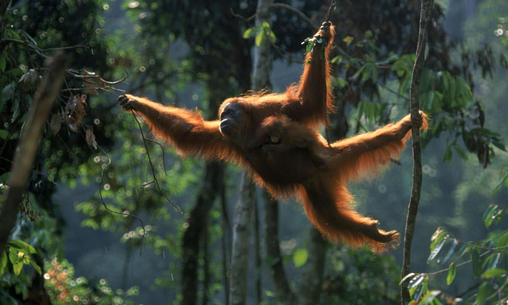 sumatran orangutan - endangered animals
