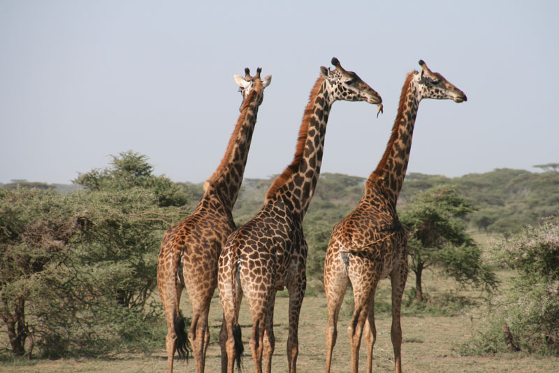 interesting facts about giraffe