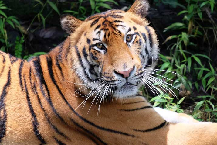 Amazing Facts About Tigers Bali Safari Marine Park