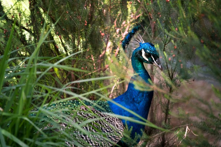 Get to Know The Peafowl (Peacock) of Indonesia