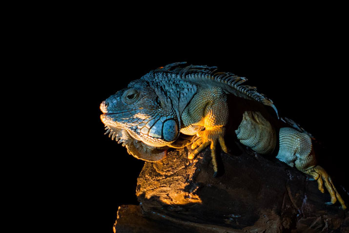Secret About Iguanas at Bali Safari Park