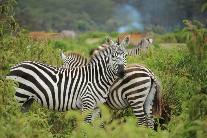 African Animals in Bali Safari Zebra
