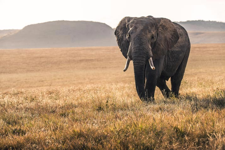 African Animals in Bali Safari Elephant