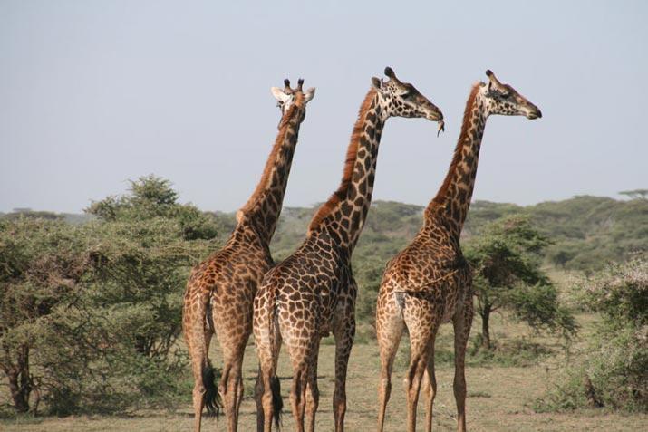 African Animals in Bali Safari Giraffe