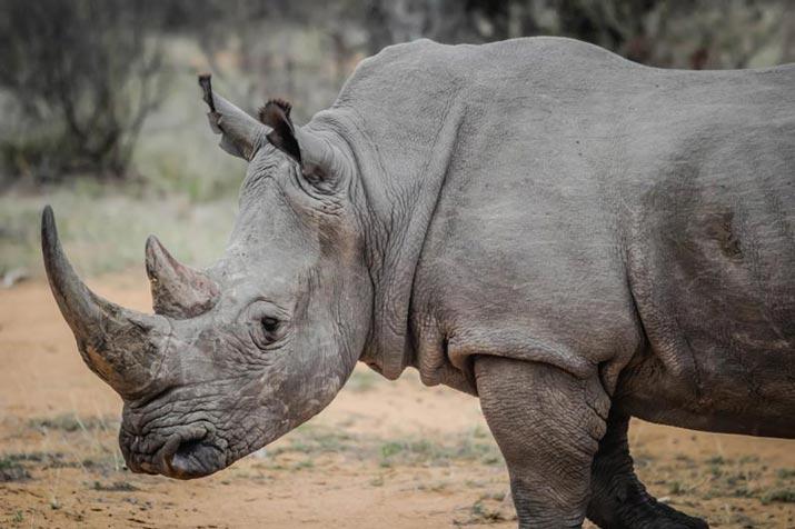 African Animals in Bali Rhinoceros