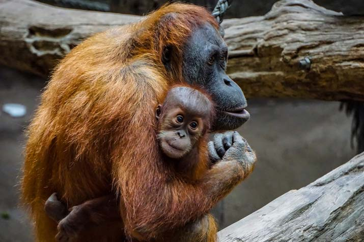 Orangutan The Man Of The Forest Family Holding Kids