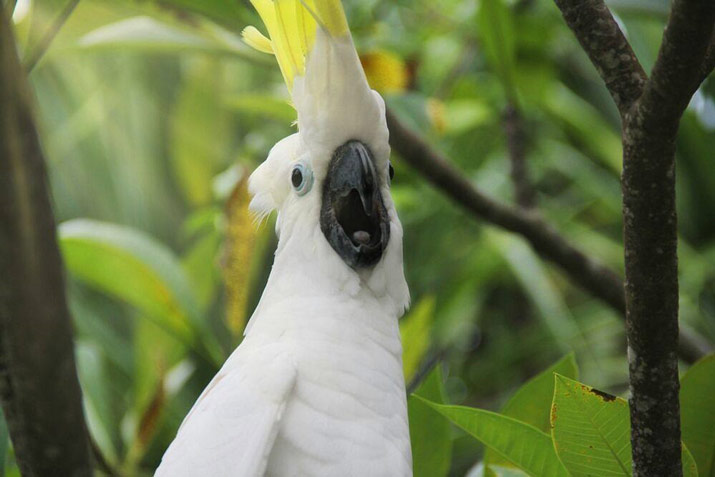 The Cockatoo, the Bird Behind an Indonesian Folk Song