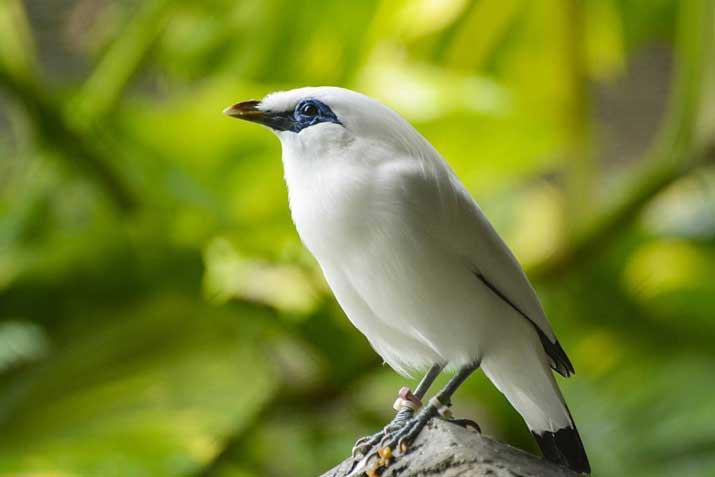 Birds of Indonesia Bali Starling