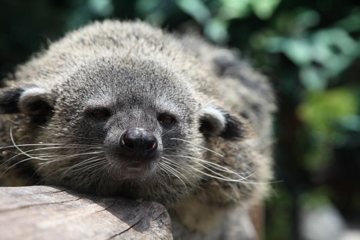 The Binturong, a Special Animal in the Park