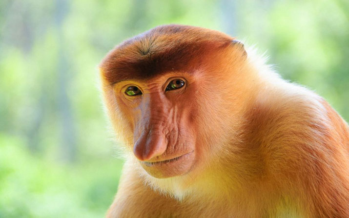 Get to know the Proboscis Monkey