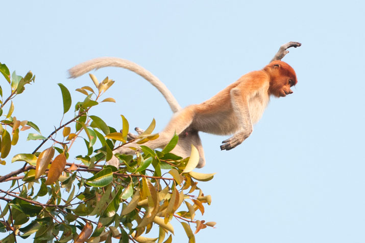 Get to know the Proboscis Monkey Jumping