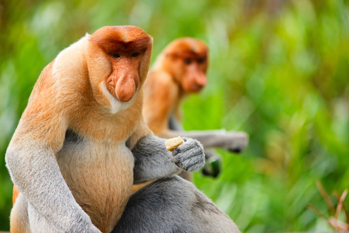 Get to know the Proboscis Monkey Colonies