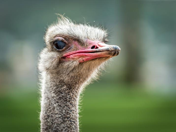 Ostrich Bali Safari Park