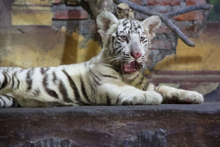 White Tiger Things You Need To Know Bali Safari Marine Park