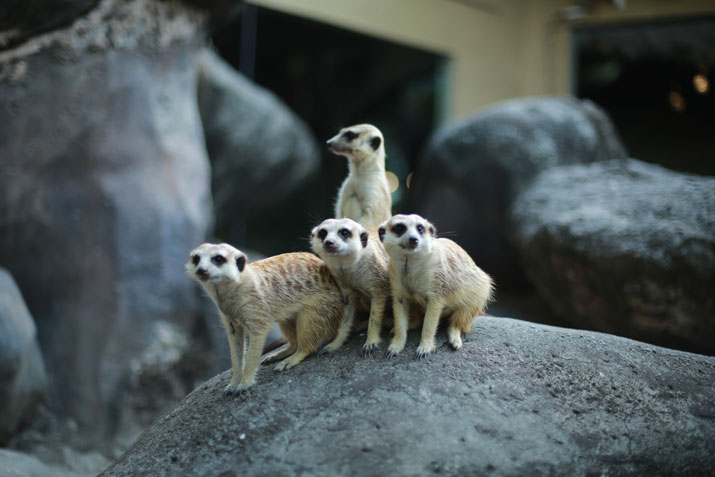 Facts about Meerkats