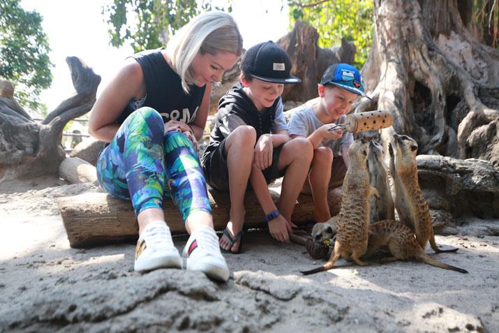 Facts About Meerkats at Bali Safari Park