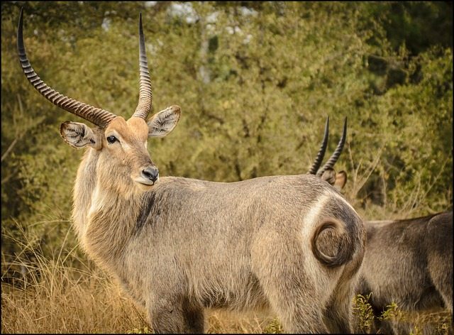 Male-waterbuck