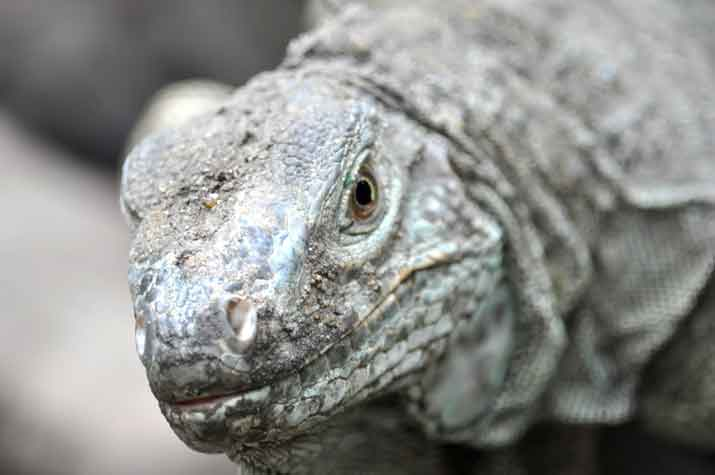 komodo dragon bali safari reptile