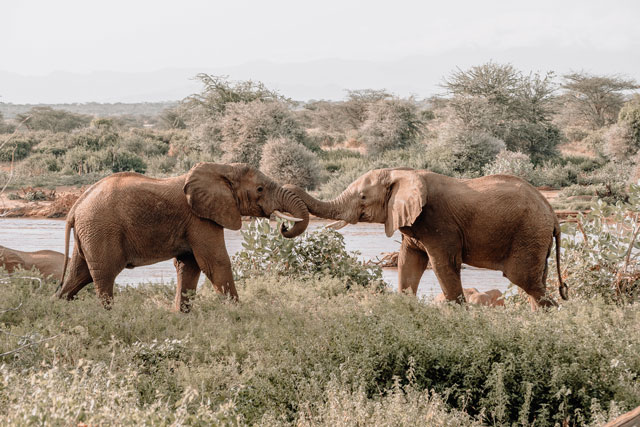 elephants-play-with-others-elephant-emotions