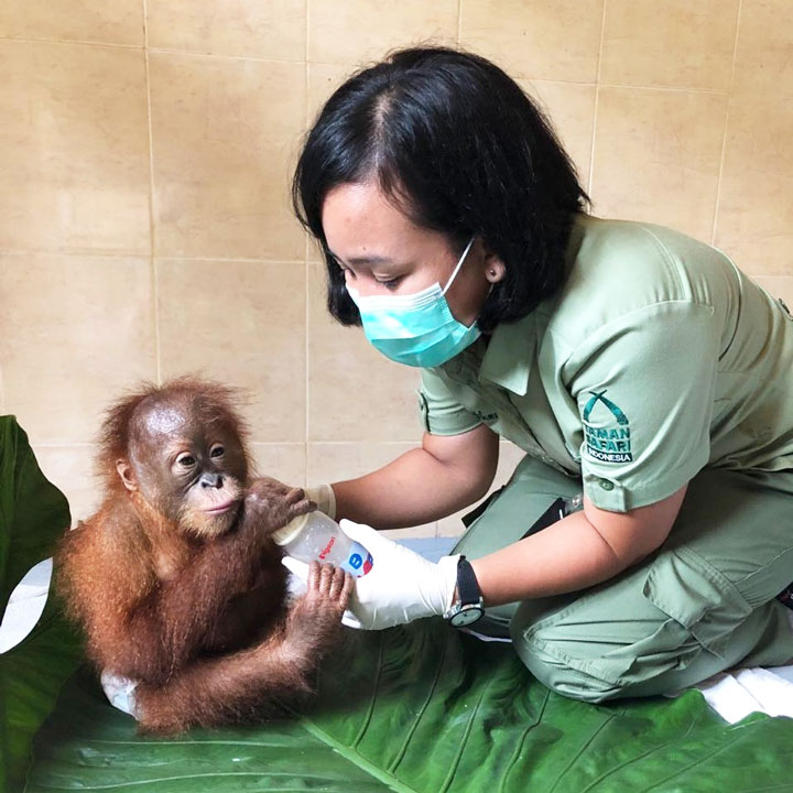 bon bon orang utan rescued in bali