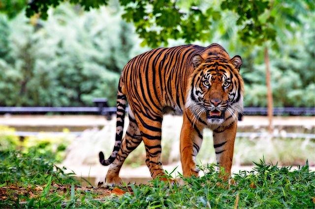 endangered animals - sumatran tiger