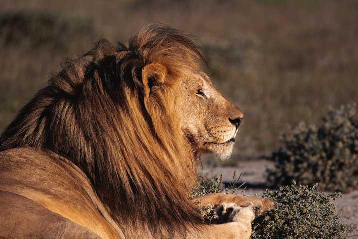 lion animal in bali safari night