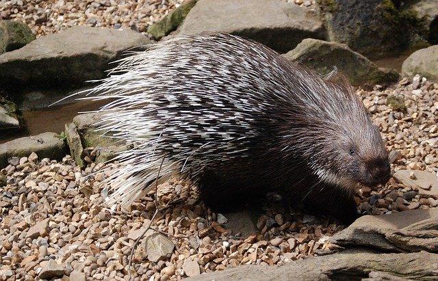 porcupine-in-bali-safari-night