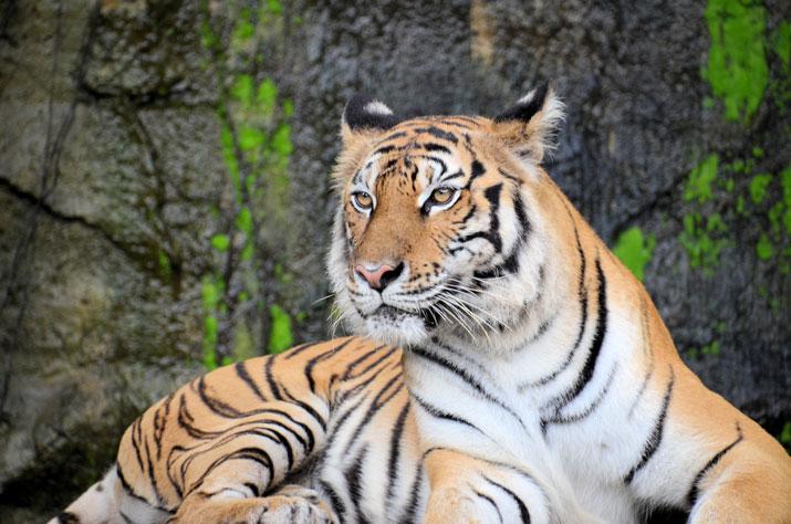 tiger in bali safari night