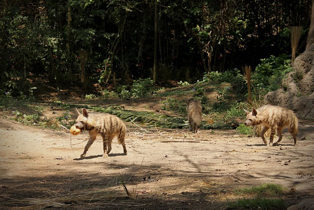 Striped Hyenas in Bali Safari