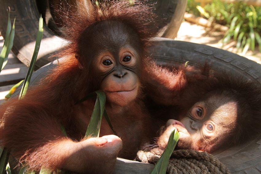 Orangutans in Bali Safari