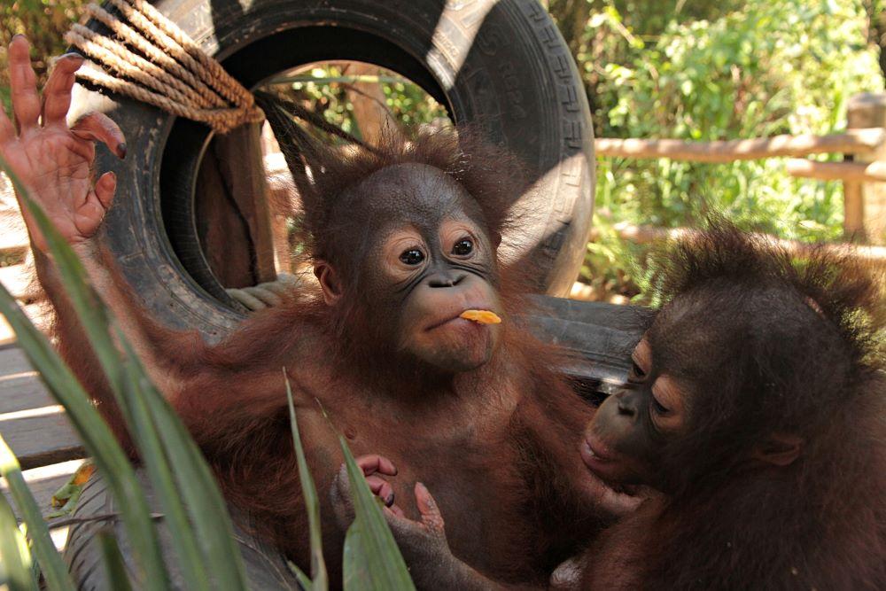Baby Orangutans in Bali Safari