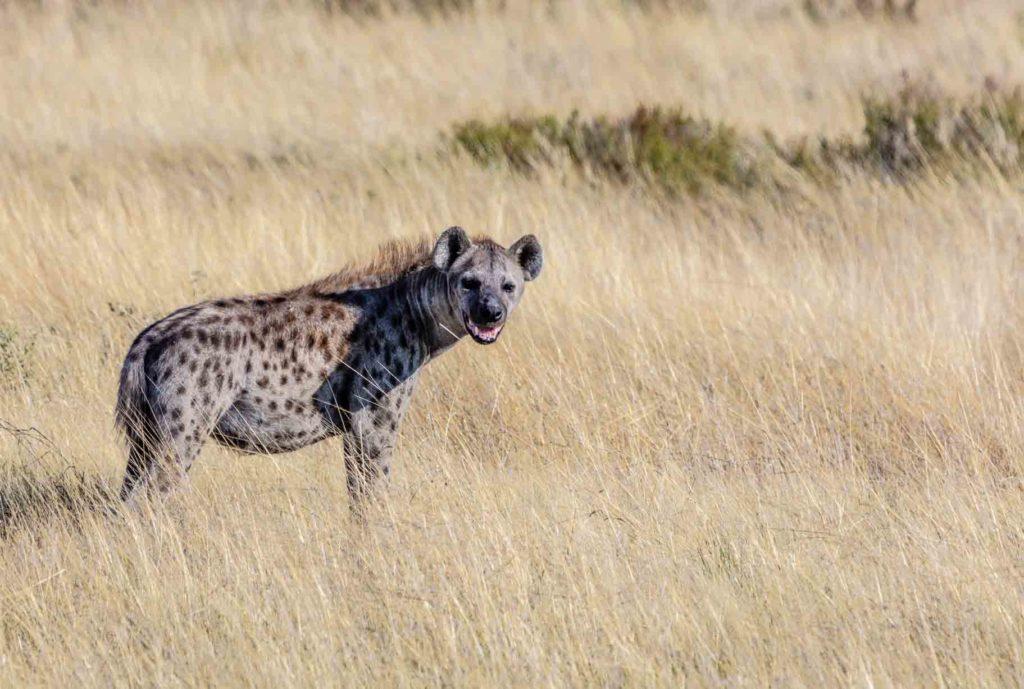 hyena-bali-safari