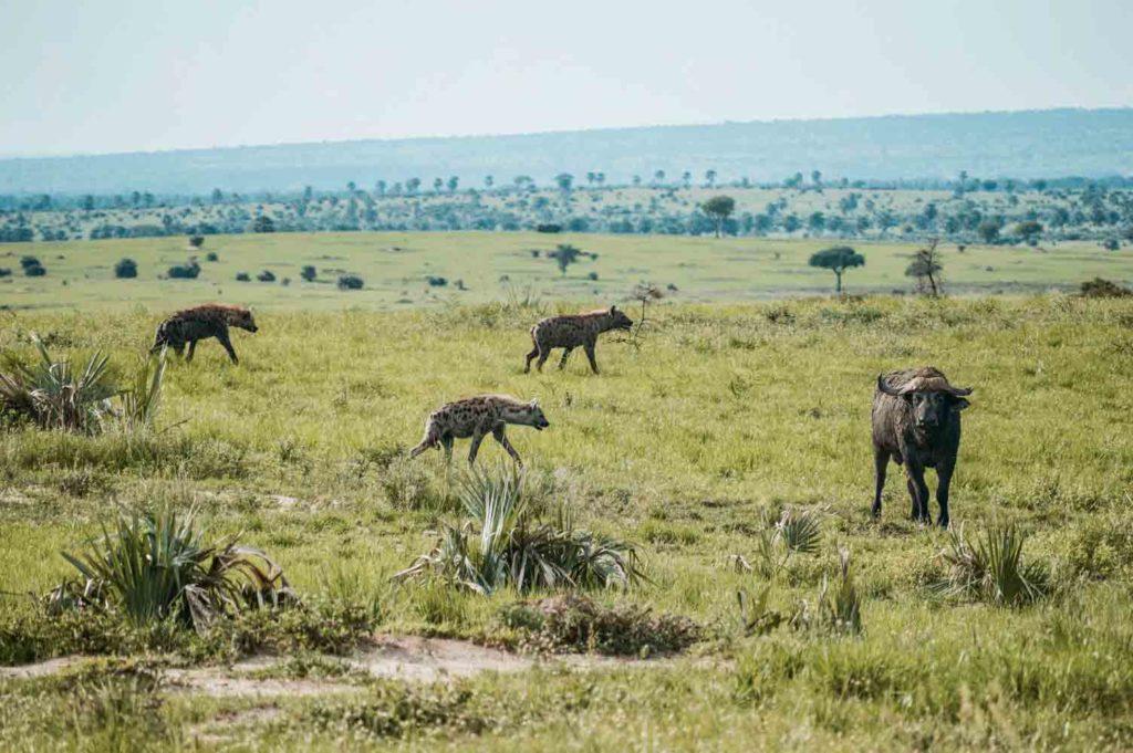 hyena-hunt-their-prey