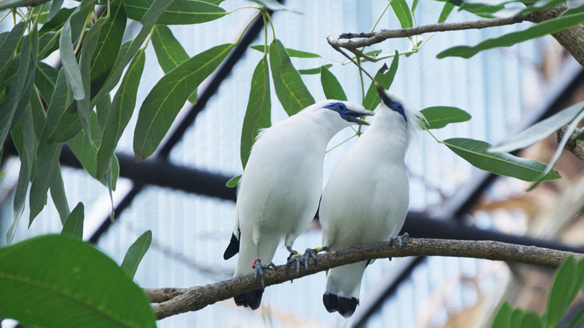 Bali Starling Conservation