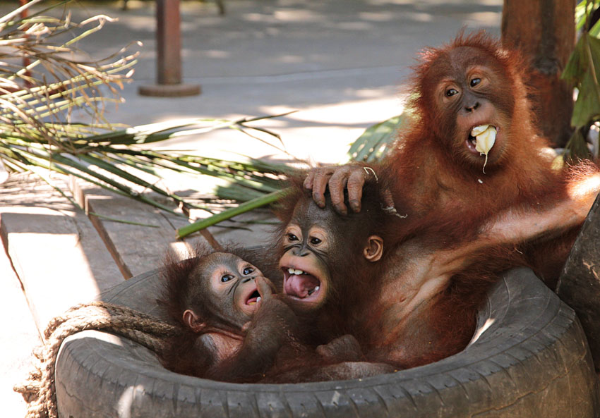 Orangutan's babies in Bali Safari Park
