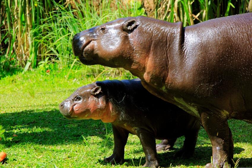 Hippo baby in Bali Safari Park