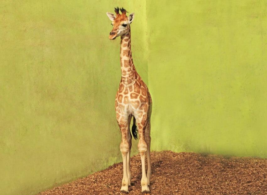 """Baby """"Corona"""" Giraffe in Bali Safari Park"""