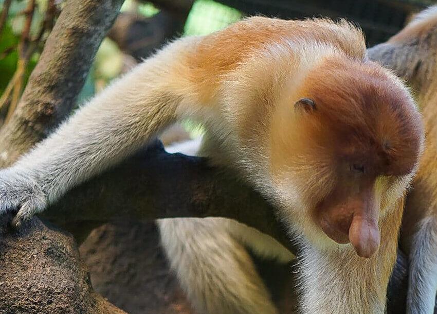 Proboscis Monkey a Borneo Island Native