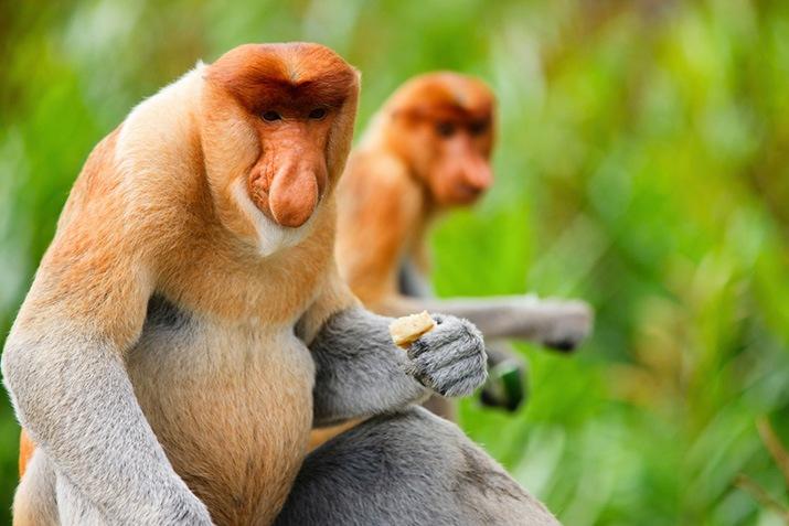 Proboscis monkey at Bali Safari Park