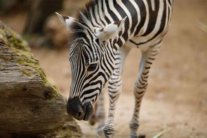 plains_zebra